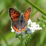 American Copper Butterfly