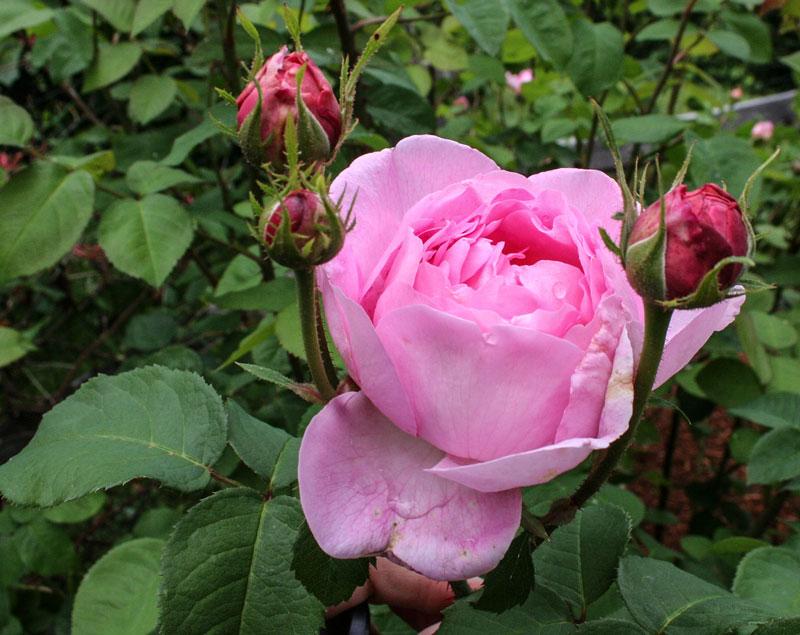 rose garden norcross wildlife foundation. Black Bedroom Furniture Sets. Home Design Ideas