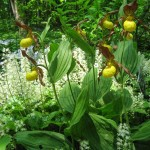 Yellow Lady's Slipper (Cypripedium parviflorum), Foam Flower (Tiarella cordifolia)