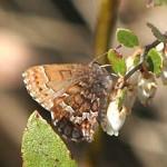 Eastern Pine Elfin Butterfly
