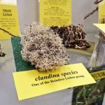 Lichens Display - Clandina