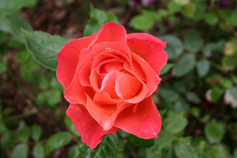 LivingEasy Rose