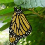 Monarch Butterfly at Tupper Hill