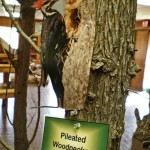 Pileated Woodpecker Model