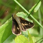 Tawny-edged Skipper Butterfly