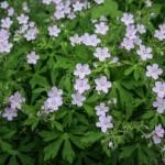 Wild Geramium (Geranium maculatum)
