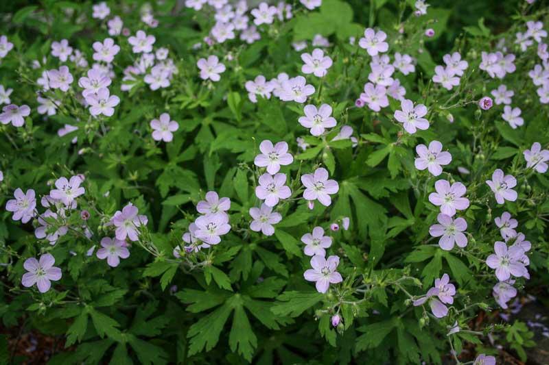 Spring flowers norcross wildlife foundation wild geramium geranium maculatum mightylinksfo