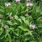 Bradbury's Bee Balm (Monarda bradburiana)