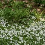 Creeping Phlox (Phlox stolonifera), Northern Lady Fern (Athyrium angustum)