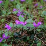 Fringed Milkwort (Polygala paucifolia)