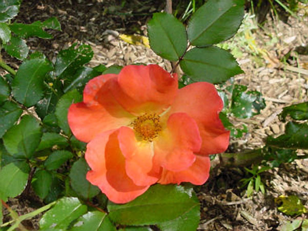 Rose garden norcross wildlife foundation - Rose cultivars garden ...