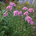 New England Aster (Symphytotrichum novae angliae)