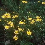 Cape golden aster (Pityopsis falcata)