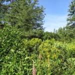Pine Barren