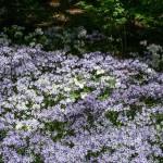 Wild blue phlox (Phlox divaricata), Great white wakerobin (Trillium grandiflorum)