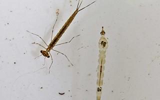 Damselfly nymph with Phantom Midge larva