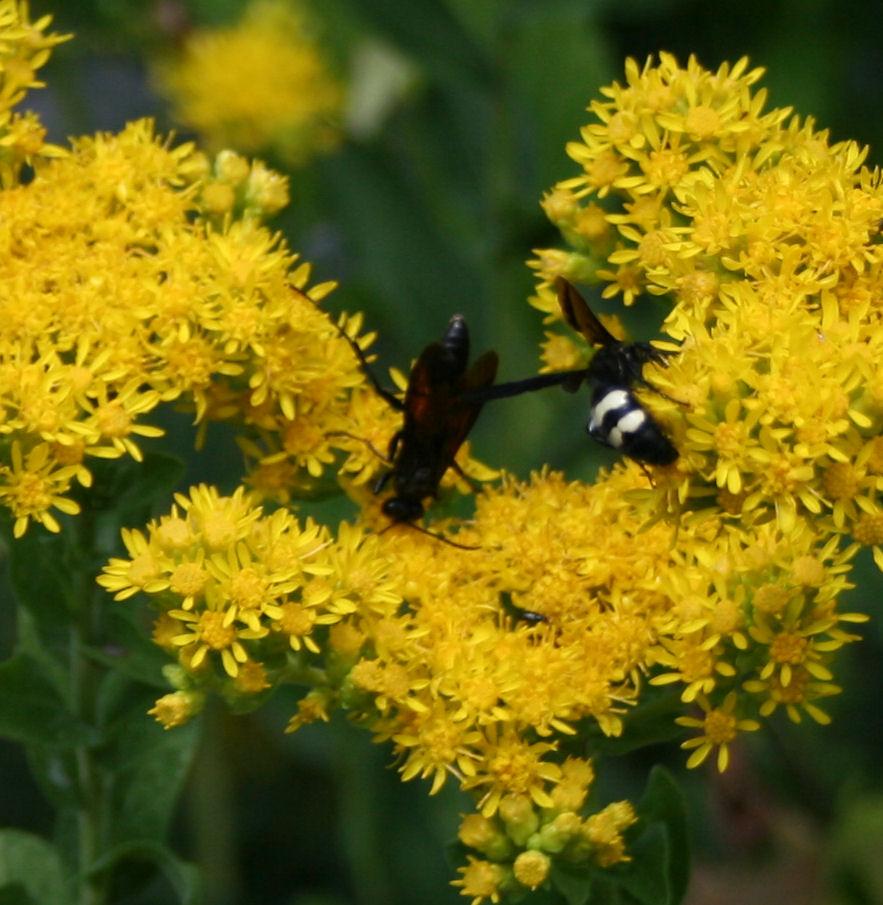 Pollinating Wasps On Goldenrod