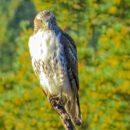 Juvenile Red Tail Hawk